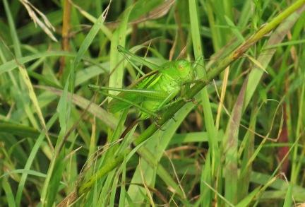 Big Grasshopper