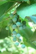 Hepan Grapes