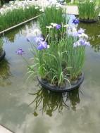 Twirling irises