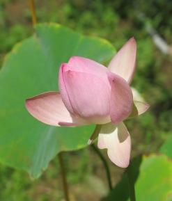 A neighbor's lotus