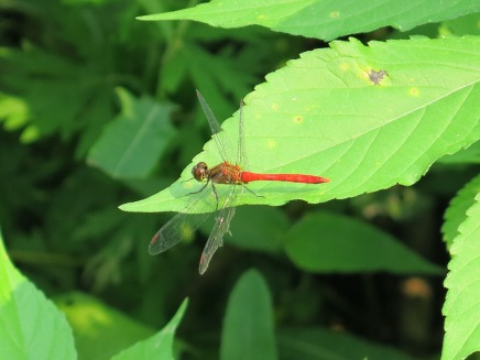 Red Dragon(fly)