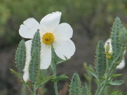Native poppy