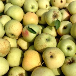 Apples for Mom