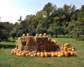 Pumpkins in the apple orchard